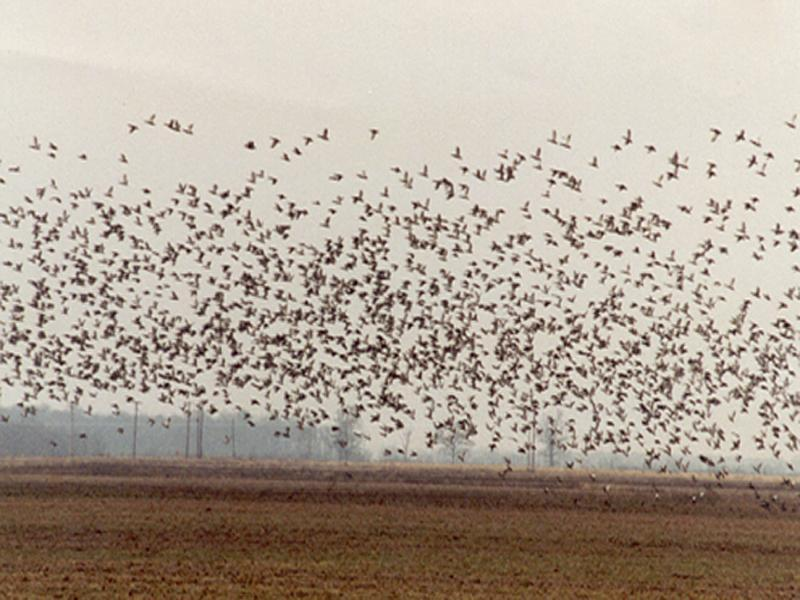 Thousands of migratory waterfowl pass through Legacy Ranch each year.